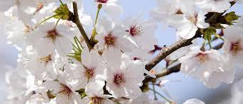 cherry-plum-conseil-fleur-de-bach.com